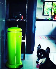 """Polubienia: 37, komentarze: 4 – Wesco Singapore (@wescosingapore) na Instagramie: """"In love with the gorgeous husky! The Wills family opted for the Lime green Wesco Bin for a pop of…"""""""