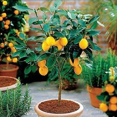 10 Edible Fruit Meyer Lemon Seeds, Exotic Citrus Bonsai Lemon Tree Fresh Seeds for sale online Potted Fruit Trees, Bonsai Fruit Tree, Citrus Trees, Trees To Plant, Fruit Plants, Kumquat Tree, Tree Planting, Pot Plants, Bonsai Garden
