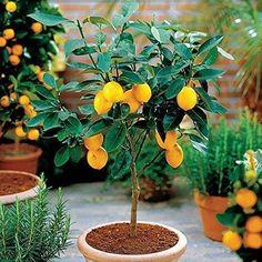 10 Edible Fruit Meyer Lemon Seeds, Exotic Citrus Bonsai Lemon Tree Fresh Seeds for sale online Potted Fruit Trees, Citrus Trees, Trees To Plant, Citrus Fruits, Fresh Fruit, Kumquat Tree, Pear Fruit, Bonsai Trees, Bonsai Garden