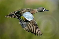 The Blue-winged Teal is among the latest ducks to migrate northward in spring, and one of the first to migrate southward in fall