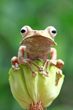 Eared frog