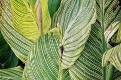 Calathea, Plant Leaves, Plants, Flora, Plant, Planting
