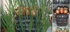 Evde Yeşil Soğan Nasıl Yetiştirilir (1) Plants, Balcony, Plant, Planets