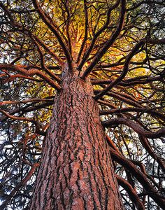 Old Growth Ponderosa Tree by Mike Putnam, via Flickr - My favorite tree...smells like Butterscotch