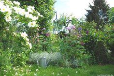 Frühsommer mit Rose Nevada, Allium, Nepeta & Co.