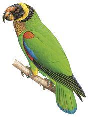 Vulturine Parrot (Pyrilia vulturina) | HBW Alive