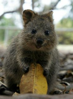 Not sure what animal this is, but its cute...kinda looks like a wombat :D