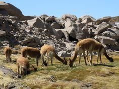 In Lauca leben Lamas, Guanacos und Vicuñas