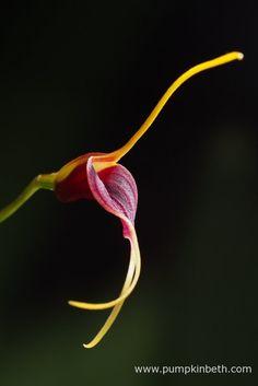 BiOrbAir Review - Growing Miniature Orchids in the BiOrbAir (part nine) - Pumpkin Beth Flowering Plants, Planting Flowers, Miniature Orchids, Terrarium Plants, Black Flowers, Beautiful Flowers, Miniatures, Pumpkin, Buttercup Squash