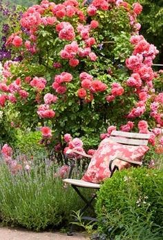 Garden chair next to shrub rose and lavender. Rosa 'Rosarium Uetersen', Buxus and Lavandula angustifolia