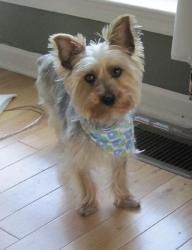 Cassidy is an adoptable Yorkshire Terrier Yorkie Dog in Warminster, PA. Please contact Gail ( gailludwig@comcast.net ), (215) 499-9676, (215) 499-9676 for more information about this pet. If your hear...