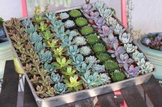 Succulents and Cactus make awesome wedding favors! They are beautiful! Succulents bring color to your wedding and tables! Bulk and wholesale succulents for sale Succulent Wedding Favors, Succulent Gifts, Succulent Centerpieces, Succulent Bouquet, Wedding Favors Cheap, Wedding Ideas, Succulent Cakes, Wedding Decorations, Wedding Flowers