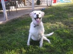 Tayter is an adoptable Labrador Retriever Dog in Warrington, PA. Aloha everyone.. I would like to introduce my self and tell you all about me. I have an awesome and unique name. Tayter, when my Mom go...