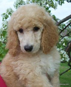standard poodle puppy - Google Search