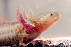 Ambystoma mexicanum - Mexican Axolotl