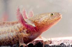 Ambystoma mexicanum - Mexican Axolotl