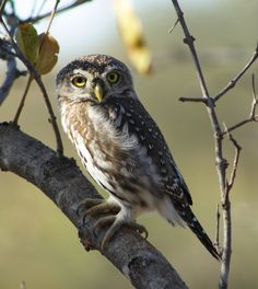 Game farms,bush houses,property for sale Hoedspruit House Property, Property For Sale, Barred Owl, Birds, Animals, Animales, Animaux, Bird, Animal