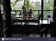 Sri Lanka, Dambulla, Hotel Kandalama, monkeys Stock Photo Monkeys, Sri Lanka, Medicine, Tropical, Horses, Stock Photos, Illustration, Animals, Image
