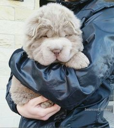 Must see Shar Pei Chubby Adorable Dog - 899a7079e5e4f6ed4ef678cc1f330a9c--shar-pei-bear-coat-fluffy-coat  Picture_259999  .jpg