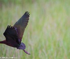 White faced Ibis Bird Photography