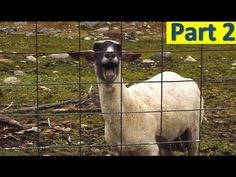 More funny Videos on http://webfail.com  That weird moment when the goat is better than the singers. You can't stop laughing.(Part 1) http://youtu.be/wfpL6_0OBuA  Like us on Facebook http://www.facebook.com/pages/Compilariz/320855641354639    No copyright infringement intended. All rights attributed accordingly.  All material belongs to their approp...