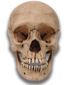 Museum Quality Skull - Adolescent Davey - Skulls - Props