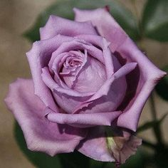 This is my favorite rose - sterling silver lavender rose............ so beautiful! The rest of you can have the red ones!