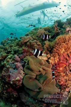 Clownfish and banka at Balicasag Island, Bohol, Philippines