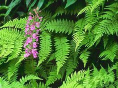 Purple Fringed Orchid, Great Smoky Mountains, Tennessee