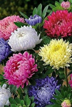 Cute Aster Chrysanthemum Seeds (Callistephus)Bonsai Plant Give You a Garden Full of Bright Summer big Flowers Home Garden Big Flowers, Flowers Garden, Beautiful Flowers, Annual Flowers, Succulent Seeds, Chrysanthemum Flower, Bonsai Plants, Flowering Plants, Perennials