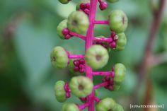poke berry