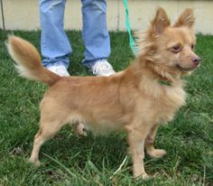 LOOKING FOR FOREVER HOME~ Odie is a 4 yr old male Chihuahua who came to the shelter as an owner surrender.  He is housebroken, neutered, microchipped, up to date on vaccinations &  heartworm tested. Humane Society of Preble Co., Phone: 937-456-PETS (7387) If you wish to apply to adopt him,  please send an email to adoptprebleco@yahoo.com & ask that an  application be emailed to you. Please indicate in the subject line you are interested in applying for Odie.