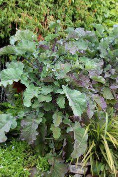 """Kale 'Richmond's Pride' """"Purple Tree Collard"""" - Buy Online at Annie's Annuals"""