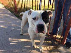 Pin By Cheryl Mcqueen Borsodi On Adoptable Dogs Boxer Bulldog