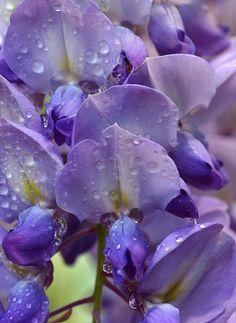 Wisteria after rain photo - Sheila photos at pbase.com