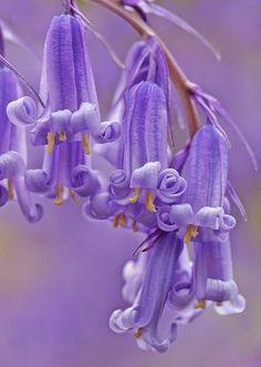 Bluebells by Dr Steven Murray   Backyards Click
