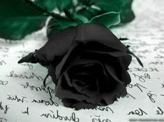 New Rare Black Rose Flower Seeds Garden For Your Lover Decorations Black Rose Flower, Green Rose, Black Roses, Rainbow Roses, Rosa Rose, Rose Wallpaper, Flower Seeds, Plant Leaves, Blue