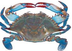 The Blue Crab is a well known Native Species in the Chesapeake Bay - Maryland Department of Natural Resources Chesapeake Bay Fishing, Crab Painting, Fish Paintings, Beach Paintings, Food Painting, Blue Claw Crab, Crab Imperial, Crab Tattoo, Crab Art
