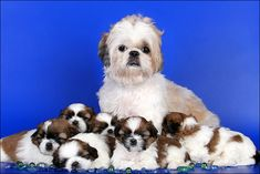Mom & little ones - shih tzu dogs -