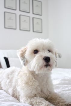 homevialaura | white bedroom | coton de tulear