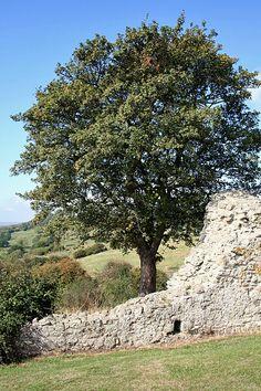 Tree at Hadleigh Castle, Essex, UK.