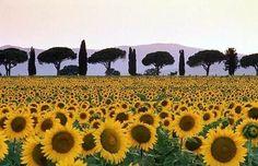 Sonnenblumen in der Toskana