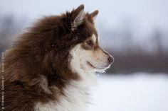 Google Image Result for http://eng.royalcanin.com/var/royalcanin/storage/images/breeds/dog-breeds/fci-group-5/chien-finnois-de-laponie/finnish_lapphund_0062/8091753-3-eng-GB/finnish_lapphund_0062_imagelarge.jpg