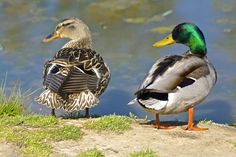 The Difference In Ducks Photo by Nancy Bumpus — National Geographic Your Shot