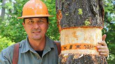 How To Kill A Tree + Tree Girdling