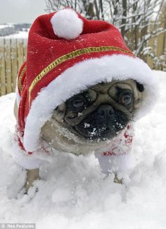 Santa, baby: Some little pugs really enjoy getting into the spirit of the festive season