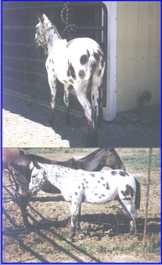 This is B7 Durango, bred by Don Baird of Morganfield, KY. His mother is a leopard appy pony, and his dad is a Grant zebra.