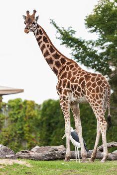 Giraffe, Explore, Animaux, Felt Giraffe, Giraffes, Exploring