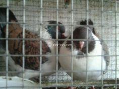 Madonna Pigeons for sale Bangalore - Dog Buy & Sale Pigeons For Sale, Madonna, Dogs, Pet Dogs, Doggies