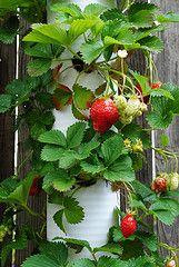 Edible vertical wall: grow strawberries in pvc pipe.